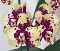 蝴蝶蘭 Phalaenopsis Sogo Pearl PRO10 -香港大埔蘭花展 Taipo Orchid Show, Hong Kong- (9255165976).jpg