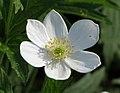 銀蓮花屬 Anemone virginiana -波蘭 Krakow Jagiellonian University Botanic Garden, Poland- (36772146325).jpg