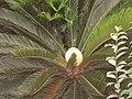 铁树 - panoramio (2).jpg