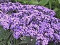 香水草(天芥菜) Heliotropium peruvianum (Heliotropium arborescens) -伯明翰 Cannon Hill Park, Birmingham- (9198184267).jpg