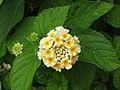 馬纓丹 Lantana camara -香港動植物公園 Hong Kong Botanical Garden- (9216129482).jpg
