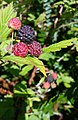-365 blackCap raspberries (27239140803).jpg