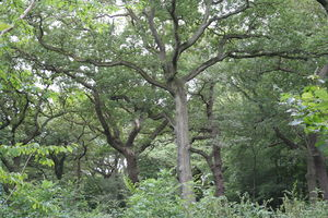 Queen's Wood - Queen's Wood in late July 2006