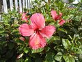 0931jfHibiscus rosa sinensis Linn White Pinkfvf 05.jpg