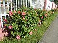 0931jfHibiscus rosa sinensis Linn White Pinkfvf 08.jpg