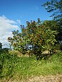 09778jfLandscapes Bixa orellana Maronquillo San Rafael Bulacanfvf 18.JPG
