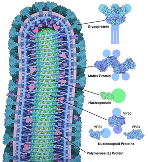 Nucleoprotein - Cross-sectional drawing of the Ebola virus particle, with structures of the major proteins shown and labeled at the side