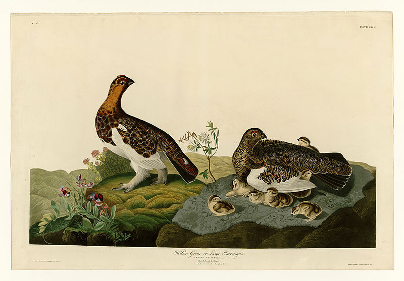 File:191 Willow Grous or Large Ptarmigan.jpg