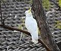 1 Sulphur crested cockatoo Marsfield 002.jpg