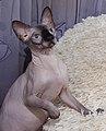 1 adult cat Sphynx. img 010.jpg