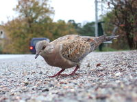A young turtle dove photographed in Nynäshamn, Sweden.