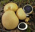 2009-09-03 Scleroderma citrinum Pers 55647 crop.jpg