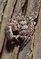 2013.06.04.-21-Viernheimer Heide Viernheim-Vierpunktspringspinne-Sitticus pubescens-Weibchen.jpg