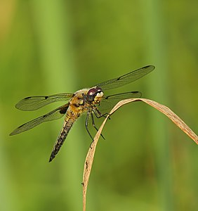 Four-spotted chaser - Libellula quadrimaculata, male.