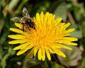 2014-04-01 12-47-47 abeille.jpg