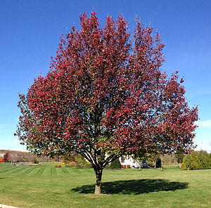 Pyrus calleryana - Autumn color of Callery pear