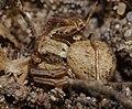 2014.03.09.-13-Kaefertaler Wald-Mannheim-Braune Krabbenspinne-Weibchen.jpg