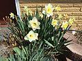2015-03-16 12 32 21 Daffodils on Idaho Street (Interstate 80 Business) in Elko, Nevada.JPG