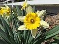 2015-04-13 12 17 07 Daffodils blooming on Terrace Boulevard in Ewing, New Jersey.jpg