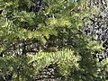 2015-04-28 11 43 10 White Fir foliage on the south wall of Maverick Canyon, Nevada.jpg