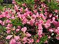 2015-05-17 14 30 10 Rosebud Azalea blossoms on Terrace Boulevard in Ewing, New Jersey.jpg