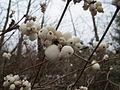 20150101Symphoricarpos albus1.jpg