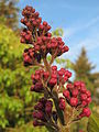 20150417Syringa vulgaris2.jpg