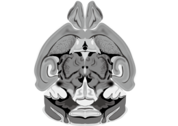 201510 Mouse brain horizontal cross section.png