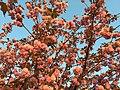 2016-04-15 19 25 47 'Kanzan' Japanese Cherry flowers in the light of the setting sun along Lake Center Plaza in Cascades, Loudoun County, Virginia.jpg
