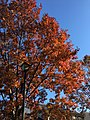 2016-11-18 11 48 29 Red Oak displaying autumn foliage along Dairy Lou Drive between Allness Lane and Dairy Lou Court in the Franklin Farm section of Oak Hill, Fairfax County, Virginia.jpg
