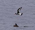2016.07.18.-45-Strande--Austernfischer im Flug.jpg