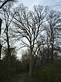 2017-04-10 18 36 39 Large White Oak along a walking trail in a woodland within the Franklin Farm section of Oak Hill, Fairfax County, Virginia.jpg
