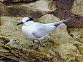 2017-08-07 Thalasseus sandvicensis, St Marys Island, Northumberland 02.jpg