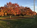2017-11-29 16 08 54 Bradford Pears in late autumn along Franklin Farm Road near Tranquility Lane in the Franklin Farm section of Oak Hill, Fairfax County, Virginia.jpg