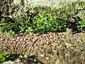 20180205Arenaria serpyllifolia2.jpg