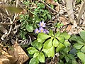 2019-03-15 13 21 52 Crocuses blooming along Tranquility Court in the Franklin Farm section of Oak Hill, Fairfax County, Virginia.jpg