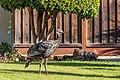 2019-10-04 Wild Turkey.jpg