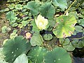 2020-08-16 16 52 22 American Lotus flower and leaves in Swartswood Lake within Stillwater Township, Sussex County, New Jersey.jpg