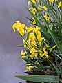 20200525 Iris pseudacorus Central Bohemia 2.jpg