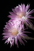 20200813 EchinopsisOxygona DSC03641 PtrQs.jpg