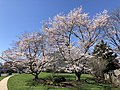 2021-03-30 10 56 16 Cherries blooming along Hidden Meadow Drive in the Franklin Glen section of Chantilly, Fairfax County, Virginia.jpg