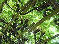 2089.Holländischer Garten-Mit Weinreben überwachsene Gänge als natürlicher sonnenschutz-Bildergalerie.JPG