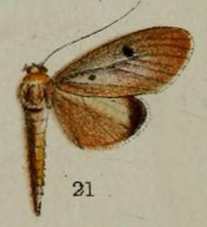 <i>Phryganodes</i> Genus of moths
