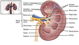 2610 The Kidney.jpg