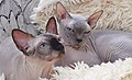 2 adult cat Sphynx. img 038.jpg
