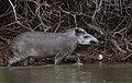 6794 Pantanal tapir JF.jpg