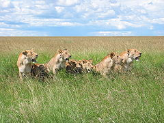 7 lions along the road in the Masai Mara park reserve in Kenya