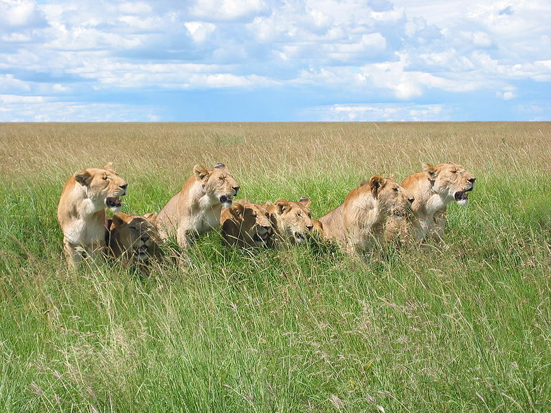 File:7 lions.jpg
