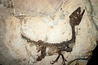 Scipionyx - Fossil specimen, Museo Civico di Storia Naturale di Milano