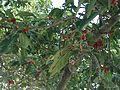 A.Fig tree.jpg